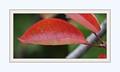 One Red Leaf