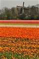 What can be more Dutch than Tulips and Windmills?