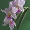 NIKON D7200 Orchid, cattleya