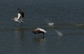 2 American White Pelicans taking off and chasing. It certainly looks like their racing. Taken from my deck in Lake Shastina California.