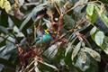 Golden-collared Tanager (Iridosornis jelskii), Aguas Calientes, Peru