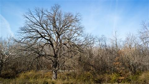 200 Year Old Burr Oak