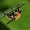hoverflies/dipterans