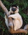 Sifaka Lemur, Berenty Reserve, Madagascar