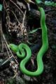green bamboo viper