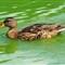 duck1web