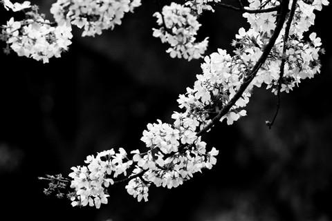 cherry blossom: vlee1009: Galleries: Digital Photography ...