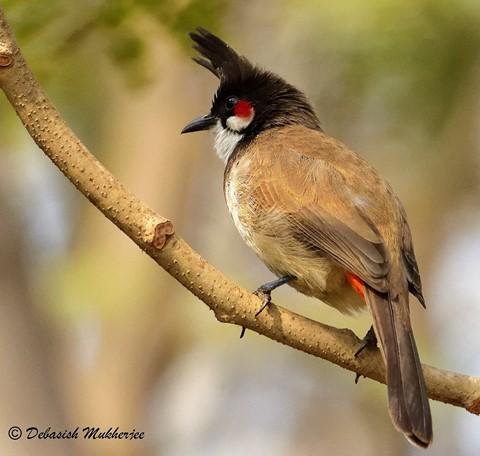 RED-WHISKERED BULBUL (সিপাহি বুলবুল)