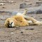 Snoozing Lion by a Watering Hole in the Afternoon at Etosha National Park DEC 3 2016 NAMIBIA (1 of 1)