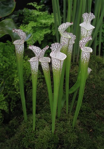 Carniverous Plant Sarracenia Leocophylla copy