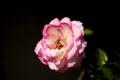 Just Rose