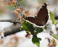 Mourning Cloak on sour cherry blossom