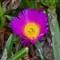 Pig Face Flower