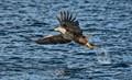 White Tailed Sea EagleSea Eagle
