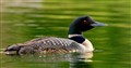 Common Loon - Canada