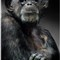 Chimpanzee for DPR