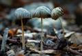 Mushroom from my garden this morning