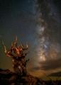 Stars and Bristlecone Pines