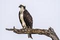 Osprey Dead Tree Perch (1 of 1)