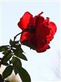 rose 101-2498