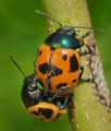 Fungus Beetles