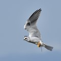 White Kite