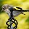 Juv Goldfinch