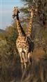 Symmetric Giraffes