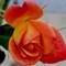 Rose 5 111911