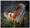Red Shouldered Hawk 44