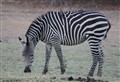 zebra with oxpeckers