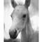 Foal Headshot b&w web