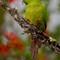 23 Slender-billed Parakeet Enicognathus leptorhynchus Choroy 4