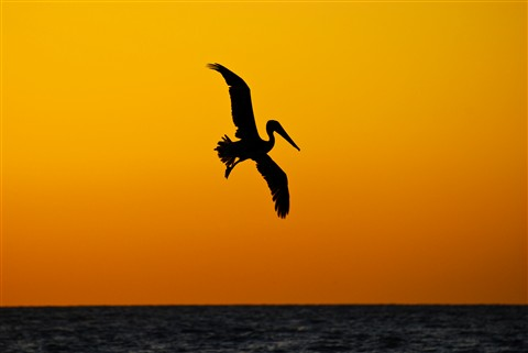 Pelican Sunset 5 sm
