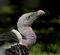 Rueppells Griffon Vulture