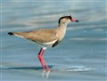 crowned lapwing -South Africa