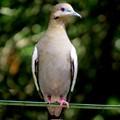 Sitting Dove