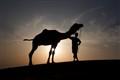 camel-Thar desert