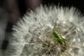 Grasshopper puppy