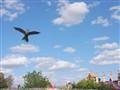 Raptor chasing lure
