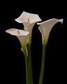 DSC3416 calla lily
