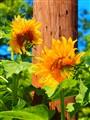 Sun flowers in the garden
