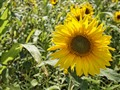 SunFlower in Grabow