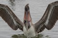 Brown Pelican with Large Fish