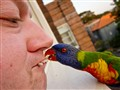 Rainbow Lorikeet, Australia - Mouth Feeder