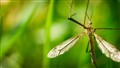 Crane Fly in grass