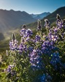 lupine, Crested Butte