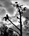 Blitzing Buzzards
