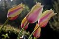 Tulips and Raindrops