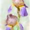 Iris_5-3-2013_125043